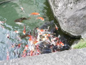 ホテル甲子園池の鯉
