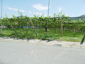 甲州勝沼ぶどう畑