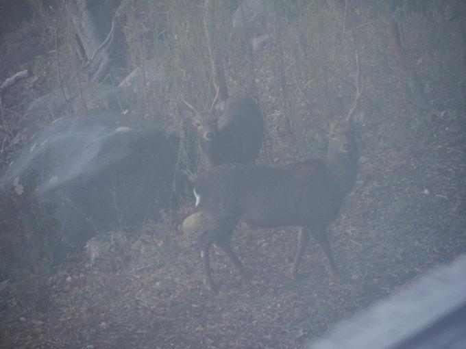 マホラリゾート野生の鹿