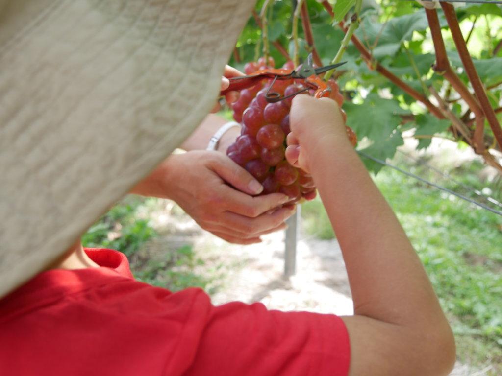 子どもと行くぶどう狩りは食べ放題も1房いくらもNG!農園の選び方や注意点を実体験で解説ブログ